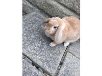 1 mini lop rabbit and hutch for sale