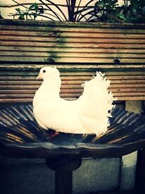 Pair of Fantail doves/ Pure white... £35