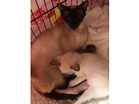 For sale Siamese mum, dad , baby