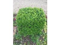 Buxus shrubs