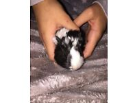 3 baby boys Brothers Guinea Pigs for sale