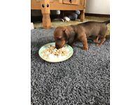 Miniature daschund puppies
