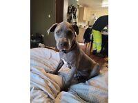 Beautiful staffie puppy blue