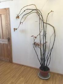Big begonia plant. (2)