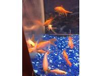 12 gold fish