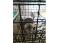 Chinchilla and cage £60