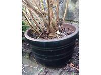 Large Hydrangea in Pot fit sale