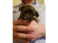 Beautiful Laptese pup's