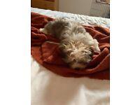 Urgent! One gorgeous boy puppy shih tzu left!