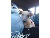Whippet pup for sale