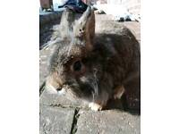 Netherland dwarf cross lion head buck ( boy) bunny