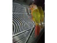 Beautiful tamed conure bird for sale