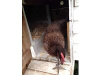 3 Chickens/hens for £20