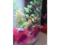 6 gold minnow fish. Free for collection inc new tank