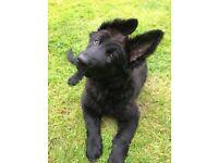 Pedigree black straight backed KCR German Shepherd home bred