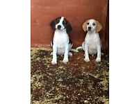 2 Beagle Puppies ***FOR SALE***