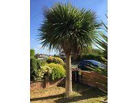 Cordyline Australis Tree and bush