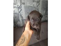 American bulldog / Rotweiler x Labrador puppies