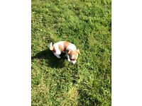 Jack Russel puppies forsale