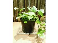 Healthy money plant