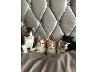 5 Beautiful British ShortHair Kittens