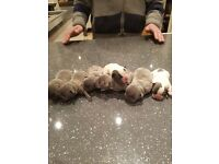 1 gorgeous FrenchBulldog puppy for SALE!
