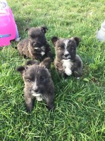 Westy x Jack Russell Puppies 'Rustys'