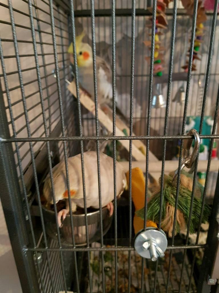 Birds cockatiel