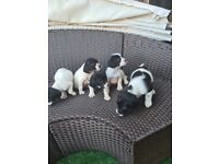 Collie x springer puppies for sale