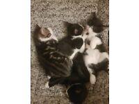Beautiful tabby cross kittens for sale