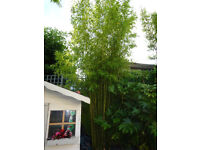TROPICAL GARDEN PLANT GOLDEN BAMBOO ROOT WITH SHOOTS - £7