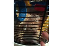 Beautiful syrian hamster and cage