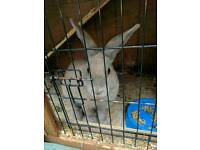 6 month old Male Rabbit with hutch