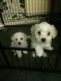 2 adorable Bichon Frise puppies