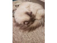 2 ragdoll cats free to good home.