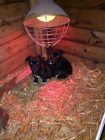 Jack Russell puppies black and white