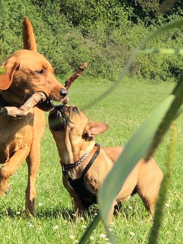 Dog walker dog walking and daycare Wandsworth, Earlsfield, Southfields,  Putney & surrounding areas | in Southfields, London | Gumtree