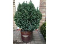 MINI CONIFER 1m tall WELL CARED FOR SOLD Without POTS