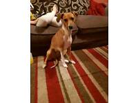 For Sale.. 1yr old Jack Russell x whippet
