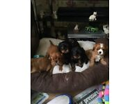 Adorable Cavalier King Charles Spaniel BOY uppies