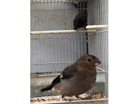 BULLFINCHES for sale