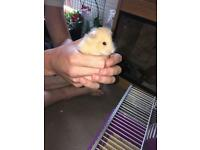 SUPER FRIENDLY FLUFFY HAMSTER FOR SALE!! Only 4 month old! COMES WITH EVERYTHING!!