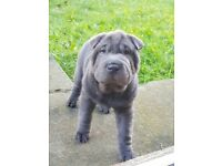 Sharpei bitch puppy ready for new home