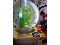 Tropical biorb fish and 60l orb tank