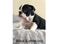 Ready now!! Triple carriers British bulldog pups