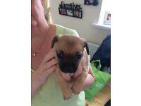 Three quarter chihuahua boy pup