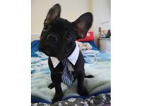 Beautiful French Bulldog puppy - KC reg