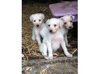 Stunning lurcher pups