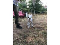 xl bully pup