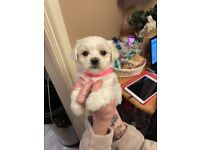 Only 2 left Maltese puppy's